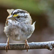 White Throated Sparrow Portrait Poster
