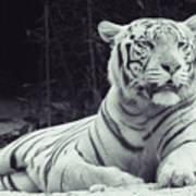 White Tiger 16 Poster