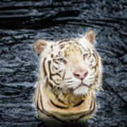 White Tiger 20 Poster
