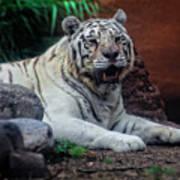 White Tiger Gladys Porter Zoo Texas Poster