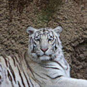 White Tiger Resting Poster