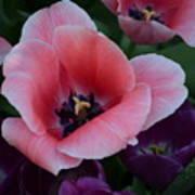 White Tip Pink Tulip Poster