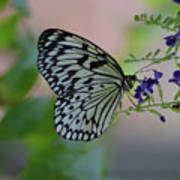 White Tree Nymph Polinating Purple Flowers Poster