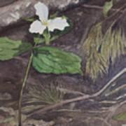 White Trillium  Poster