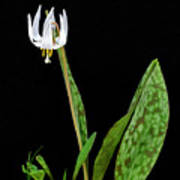 White Trout Lily Poster