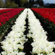 White Tulip Rows Poster