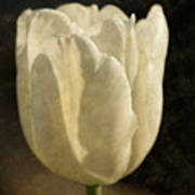 White Tulip With Texture Poster