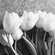 White Tulips Against Wallpaper Poster