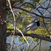 White Wagtail 2 Poster