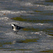 White Wagtail 3 Poster