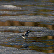 White Wagtail 4 Poster
