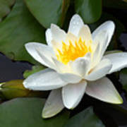 White Water Lily And Bud Poster