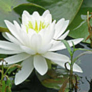 White Water Lily Wildflower - Nymphaeaceae Poster