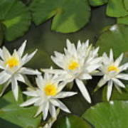 White Waterlilies  Poster