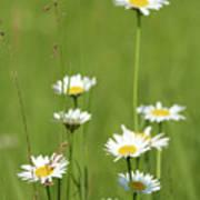 White Wild Flowers Nature Spring Scene Poster
