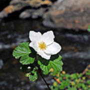 White Wild Rose In Big Thompson Canyon Poster