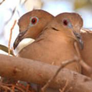White-winged Doves In Lovebird Pose Poster