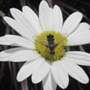 White With Bee Poster