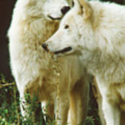 White Wolf Pair Poster
