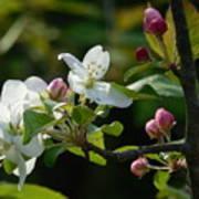 White Woodland Crabapple Flowers Poster