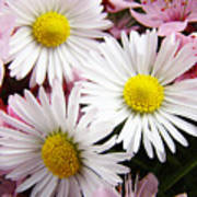 White Yellow Daisy Flowers Art Prints Pink Blossoms Poster
