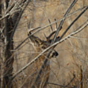 Whitetail Buck Square Poster