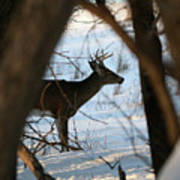 Whitetail Deer Threw The Trees Poster