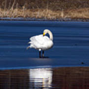 Whooper Swan 2 Poster