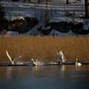 Whooper Swan Nr 12  Poster