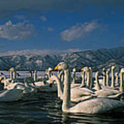 Whooper Swans In Winter Poster