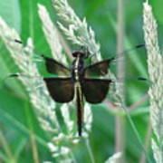 Widow Skimmer Dragonfly Poster