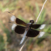 Widow Skimmer Dragonfly Male Poster
