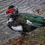 Wierd Muscovy Duck Poster