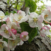 Wild Apple Blossoms Poster