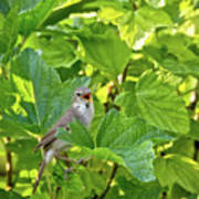 Wild Bird In A Currant Bush. Poster