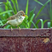 Wild Bird In A Natural Habitat.  Poster