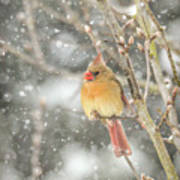 Wild Birds Of Winter - Female Cardinal In The Snow Poster