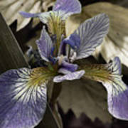 Wild Blue Iris Poster