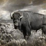 Wild Buffalo In Yellowstone Poster