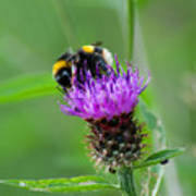 Wild Busy Worker Bumble Bee On A Thistle Flower Poster