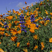 Wild California Poppies And Lupine Poster