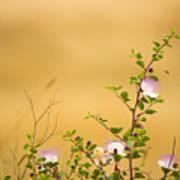 wild caper plant Capparis spinosa Poster