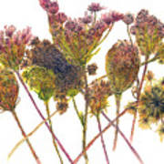 Wild Carrot Poster