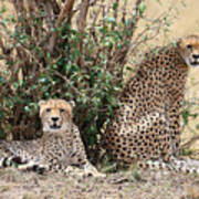 Wild Cheetahs Poster