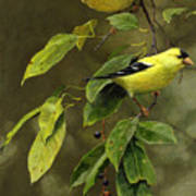 Wild Cherries And Wild Canaries Poster