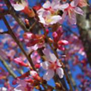 Wild Cherry Tree In Bloom Poster