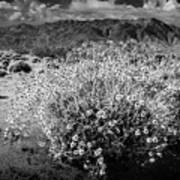 Wild Desert Flowers Blooming In Black And White In The Anza-borrego Desert State Park Poster