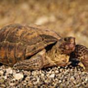 Wild Desert Tortoise Saguaro National Park Poster by Steve Gadomski
