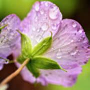 Wild Geranium After The Rain Poster