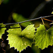 Wild Grape Leaves Poster